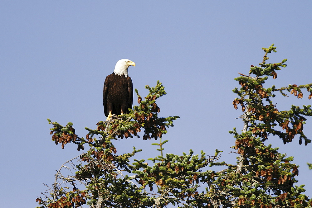 An adult American Bald Eagle (Haliaeetus leucocephalus) perched in a Sitka spruce tree in Southeast Alaska, USA. Pacific Ocean.