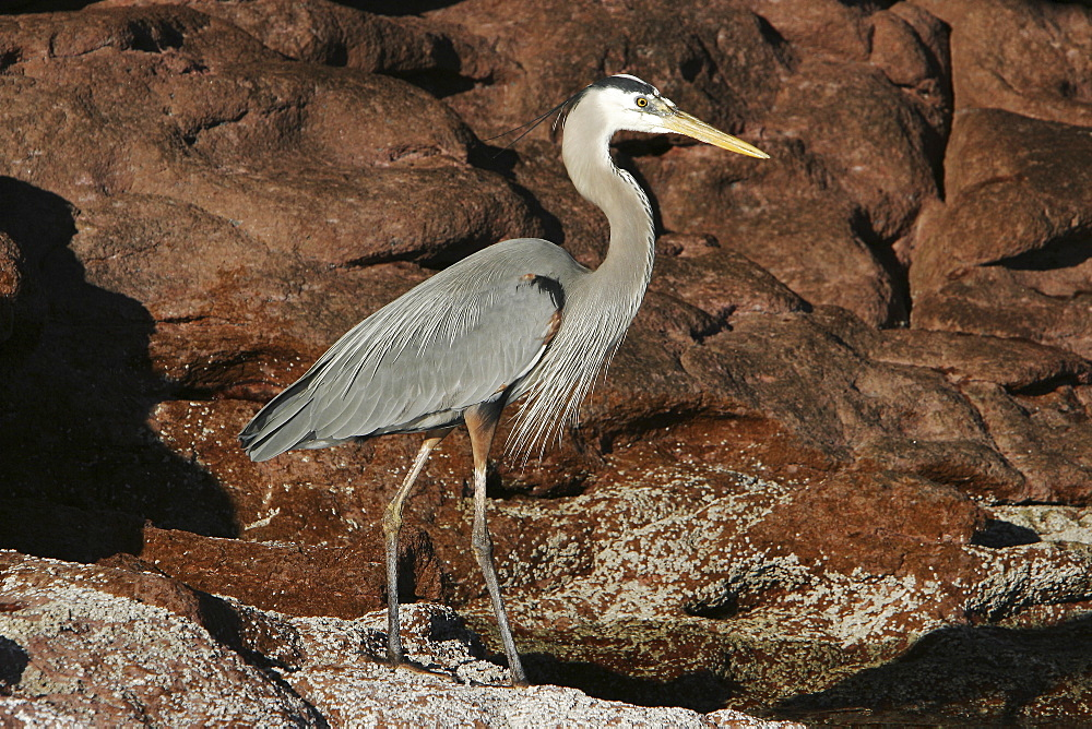 Adult Great Blue Heron (Ardea herodias) in the intertidal zone on Los Islotes in the lower Gulf of California (Sea of Cortez), Mexico.