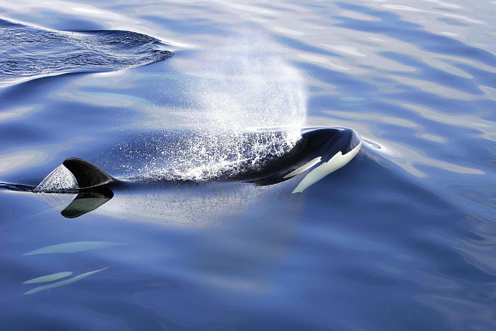 Orca (Orcinus orca) pod surfacing in Chatham Strait, southeast Alaska, USA.