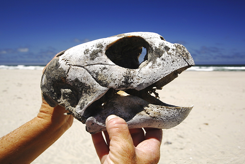 The skull of a dead loggerhead turtle - possibly killed as by-catch. Turtle researchers from the NGO Pro Caguama study and capture the critically endangered Loggerhead Turtle (Caretta caretta) from the town of Puerto Lopez Mateos. As many as 17 of these turtles wash up dead as by-catch in the gill-net and long-line fisheries each day along the Pacific Coast beaches of Isla Magdalena. The group is trying to educate fisherman to the devistation this is causing in Loggerhead populations in the North Pacific Ocean.