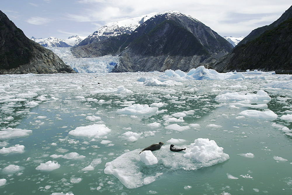Two harbor seals (Phoca vitulina) reesting on ice calved from the Sawyer Glacier, a tidewater glacier at the end of Tracy Arm in Southeast Alaska, USA.