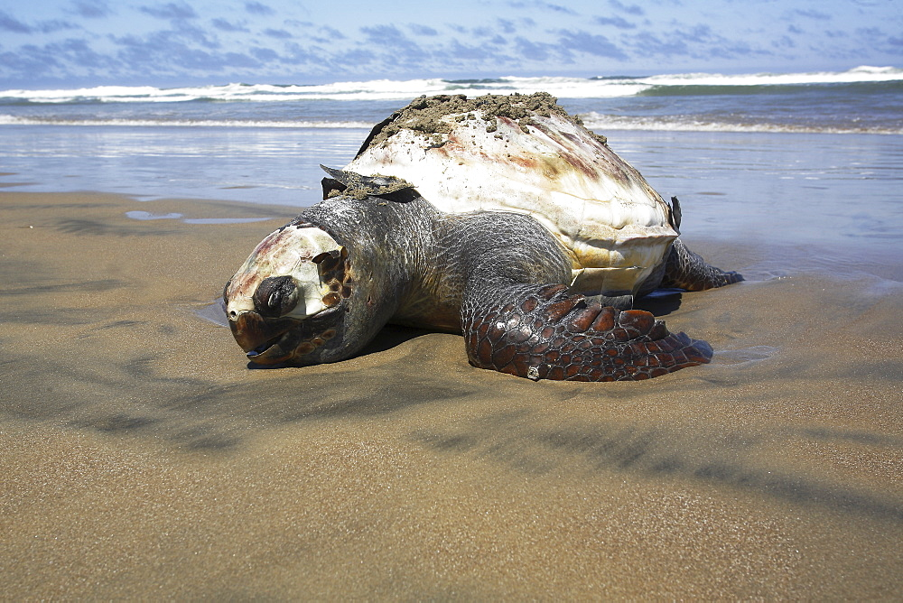 A dead Loggerhead turtle - possibly caught as by-catch- washed up dead on the beach. Turtle researchers from the NGO Pro Caguama study and capture the critically endangered Loggerhead Turtle (Caretta caretta) from the town of Puerto Lopez Mateos. As many as 17 of these turtles wash up dead as by-catch in the gill-net and long-line fisheries each day along the Pacific Coast beaches of Isla Magdalena. The group is trying to educate fisherman to the devistation this is causing in Loggerhead populations in the North Pacific Ocean.
