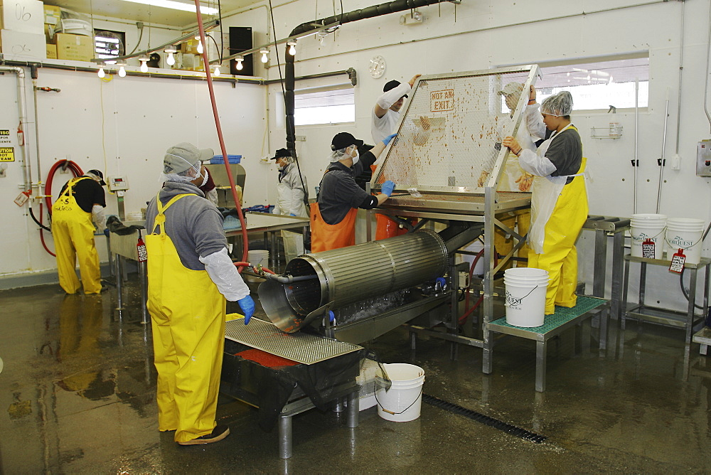 Salmon processing in Petersburg, Southeast Alaska at the Norquest fish processing plant. Here Japanese and American workers are cleaning and sorting salmon roe (fish eggs) for Asian consumption.