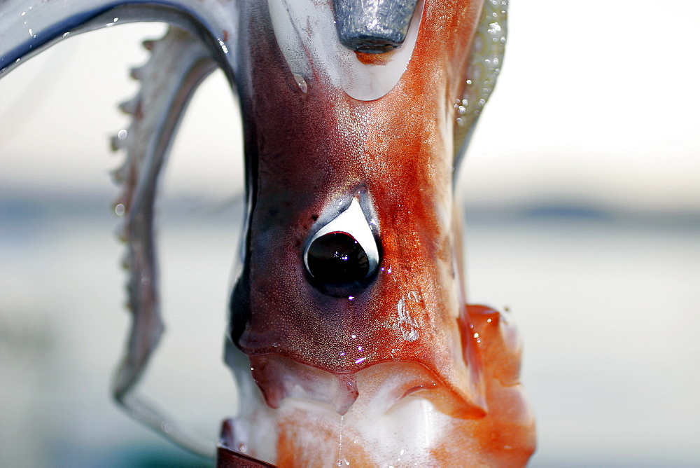 Jumbo Squid (Dosidicus gigas) eye and head detail. Mexican panga fishery in Santa Rosalia, Baja, Mexico. This fishery catches 100 metric tons of squid on average each night. The fishery runs between April and November. Average price paid for cleaned squid is less than 10 U.S. cents per pound.