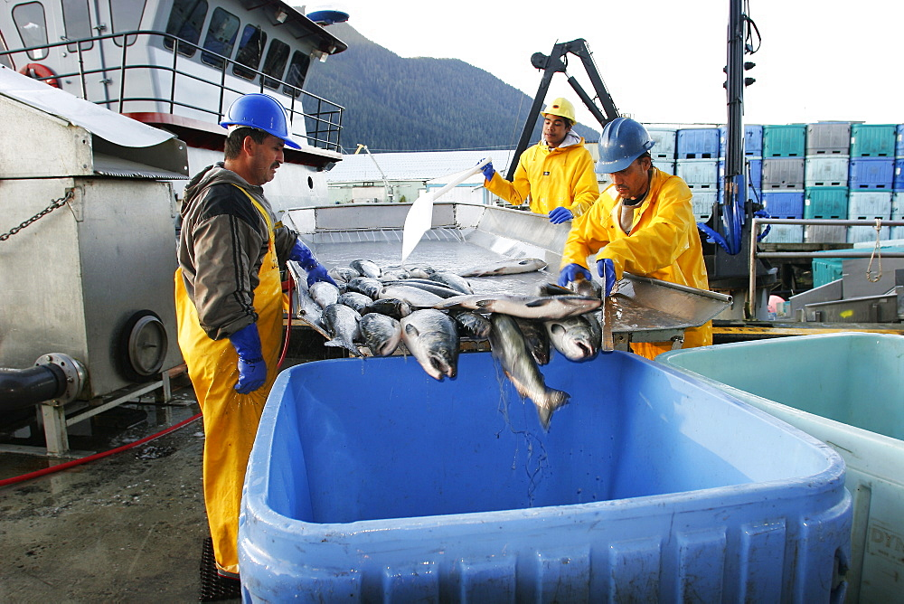 Processing the salmon catch at Norquest Cannery in Petesburg, Southeast Alaska. No model release.