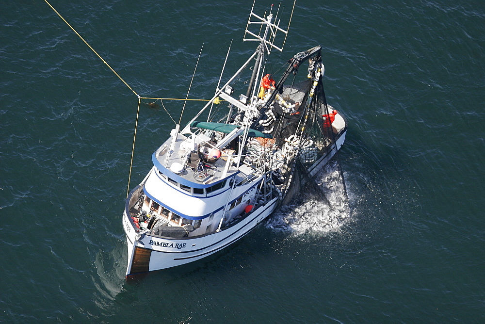 Aerial view of the purse-seiner fishery for salmon off Point Augustus, Chichagof Island, Southeast Alaska, USA. Bringing in the haul.