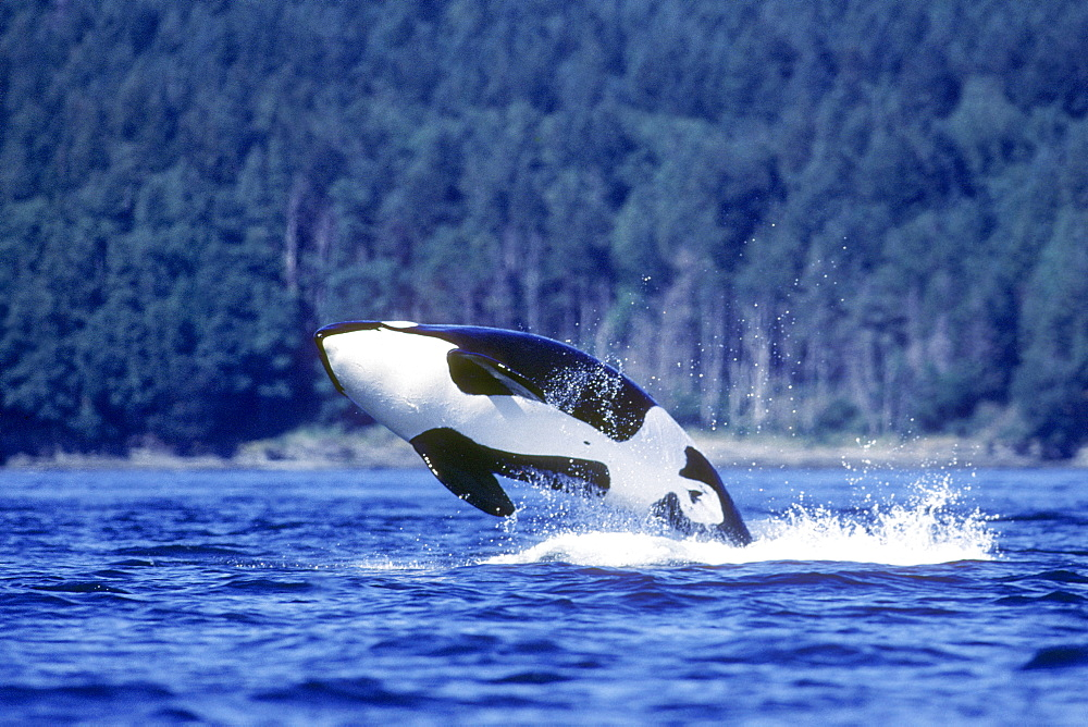 Orca breaching.  San Juan Islands, Washington.
