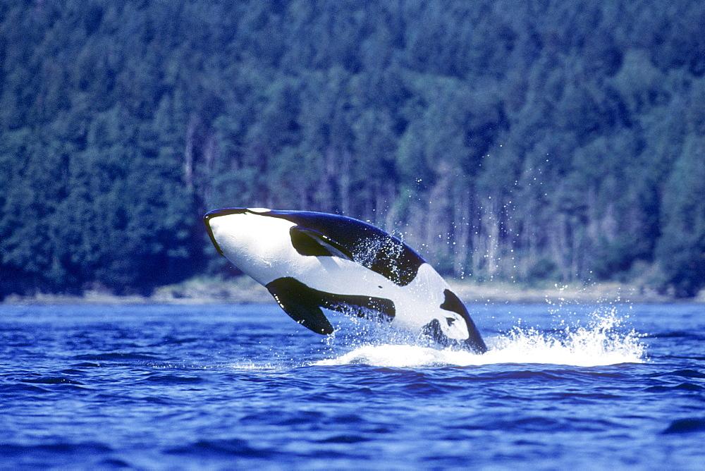 Orca breaching.  San Juan Islands, Washington.(Restricted Resolution - pls contact us) - 979-216