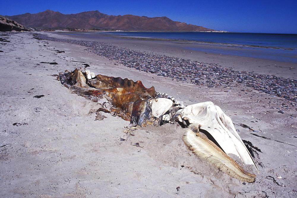 Adult California Gray Whale (Eschrichtius robustus) carcass on Isla Tiburon, Sonora, Mexico.