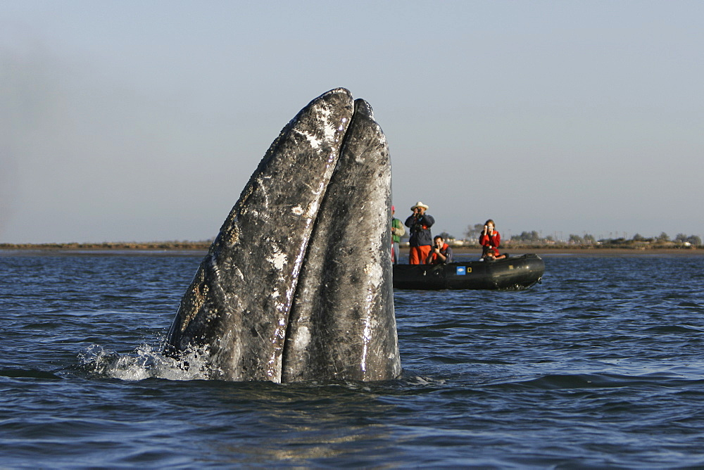 California Gray Whale (Eschrichtius robustus) spy-hopping near whale watchers in Magdalena Bay along the Pacific side of the Baja Peninsula. Pacific Ocean.