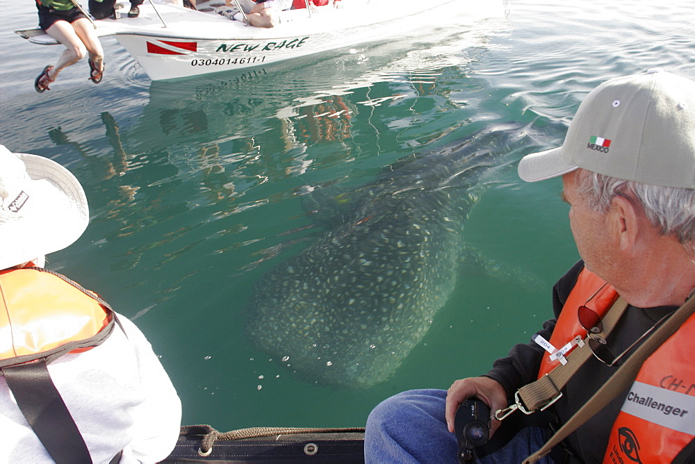 Young Whale Shark (Rhincodon typus) with boats and watchers at El Mogote, La Paz, Baja California Sur, Mexico.