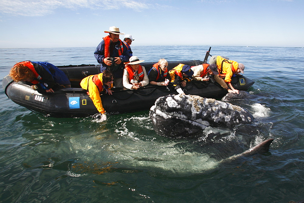 Adult California gray whale (Eschrichtius robustus) approaches excited whale watchers in the calm waters of San Ignacio Lagoon, Baja California Sur, Mexico. No model releases.