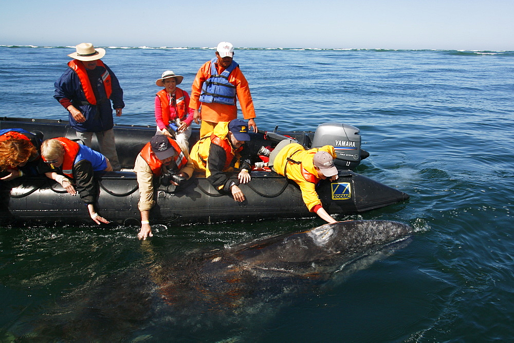 California gray whale (Eschrichtius robustus) calf being touched by excited whale watchers in the calm waters of San Ignacio Lagoon, Baja California Sur, Mexico.