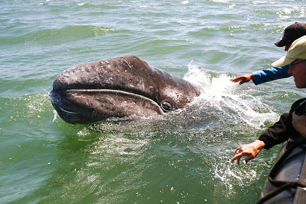 California gray whale (Eschrichtius robustus) calf approaches excited whale watchers in the calm waters of San Ignacio Lagoon, Baja California Sur, Mexico.