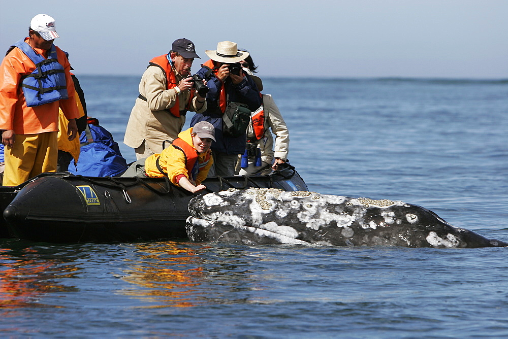 Adult California gray whale (Eschrichtius robustus) with excited whale watchers in the calm waters of San Ignacio Lagoon, Baja California Sur, Mexico.