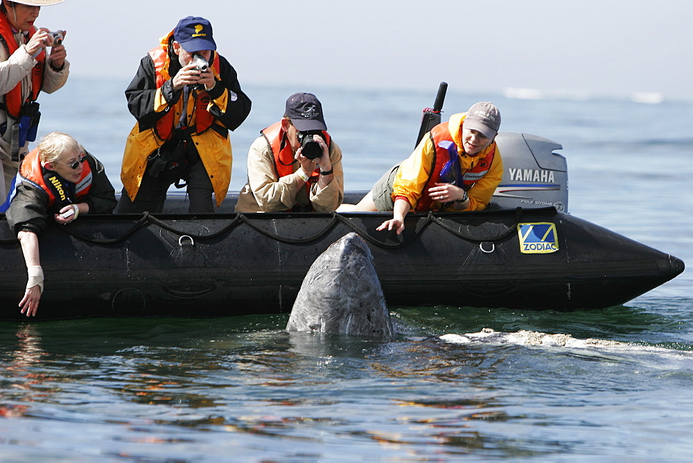 Adult California gray whale (Eschrichtius robustus) approaches excited whale watchers in the calm waters of San Ignacio Lagoon, Baja California Sur, Mexico.