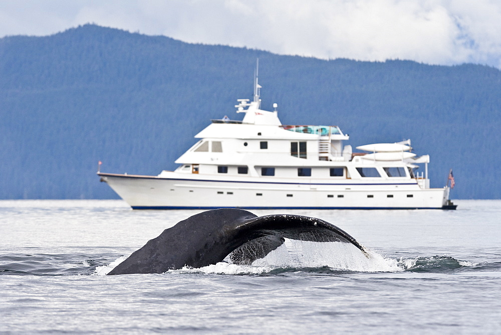 """A group of adult humpback whales (Megaptera novaeangliae) co-operatively """"bubble-net"""" feeding along the west side of Chatham Strait in Southeast Alaska, USA. Pacific Ocean. Shown here is an animal fluke-up diving in front of the charter yacht Safari Spirit."""