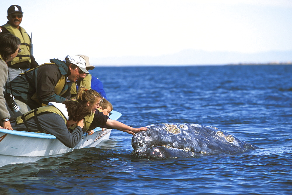 Adult California Gray Whale (Eschrichtius robustus) with excited whalewatchers in the calm waters of San Ignacio Lagoon, Baja, Mexico.