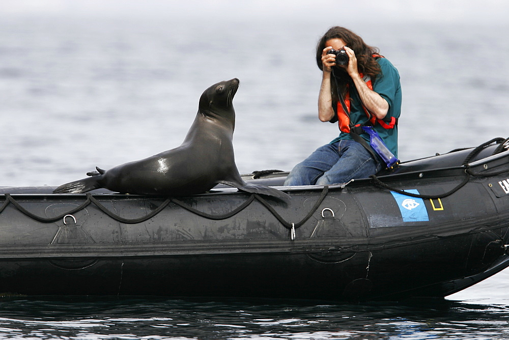 Young California Sea Lion (Zalophus californianus) hauled out on Zodiac near photographer at Los Islotes in the Gulf of California (Sea of Cortez), Mexico. Model released.