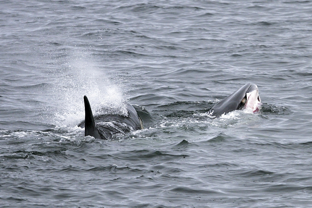 "A pod of 6 type ""A"" Orcas (Orcinus orca) with a freshly killed Minke Whale in Antarctica. No displays after the kill were witnessed.