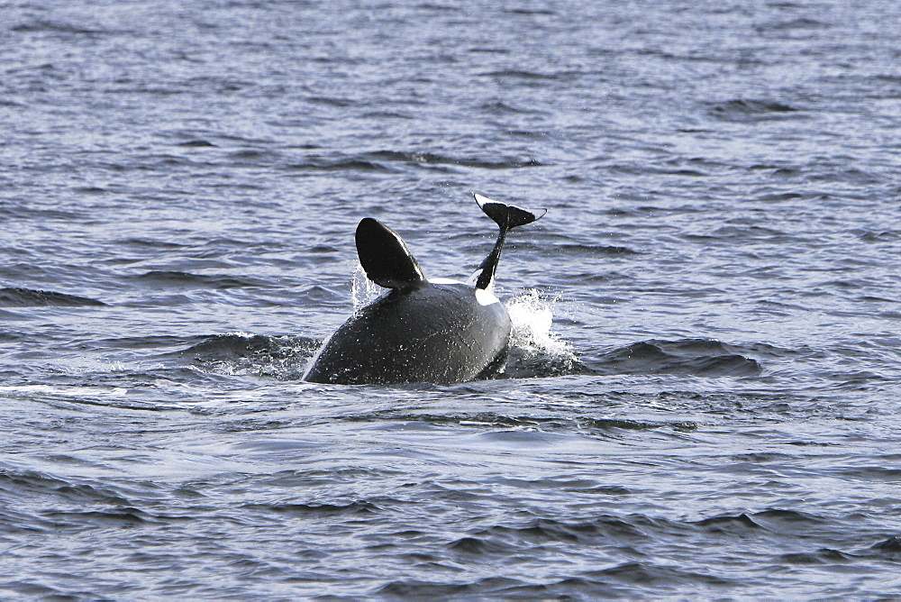 The actual moment of take for a group of five transient Orca (Orcinus orca) that chased, killed, and then ate a single female Dall's porpoise (Phocoenoides dalli) in Icy Strait, Southeastern Alaska.  After the kill some of the animals spy-hopped, breached, and approached the boat very closely.