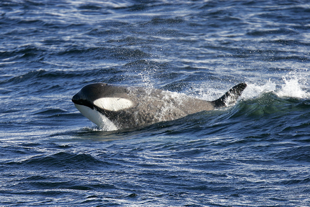 """A possible new species of Orca (with a proposed new scientific name of Orcinus nanus) traveling in the Lemaire Strait, Antarctica. These Orca are charchterized by very large eye patches, a two-tone gray cape coloration, and a relatively small size when compared to standard, or """"type A"""" Orca. This Type B Orca has become specialized in the taking and eating of pinnipeds here in Antarctica."""