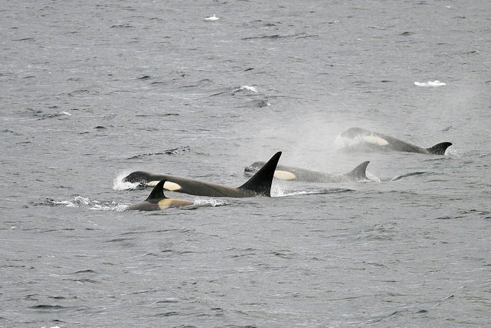 """A possible new species of Orca (Killer Whale) called """"Type B""""  Orca (with a proposed new scientific name of Orcinus nanus) traveling in the Lemaire Strait, Antarctica. These Orca are charchterized by very large eye patches, a two-tone gray cape coloration, and a relatively small size when compared to standard, or """"type A"""" Orca. This Type B Orca has become specialized in the taking and eating of pinnipeds here in Antarctica."""