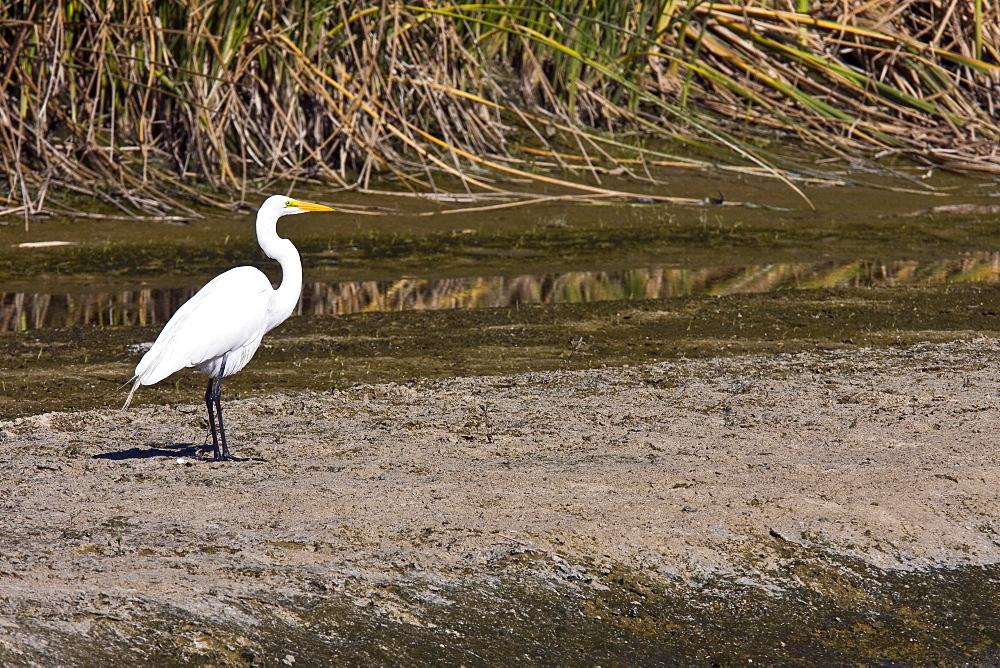 Adult Great Egret (Ardea alba) in courtship display near San Jose del Cabo, Baja California Sur, Mexico.