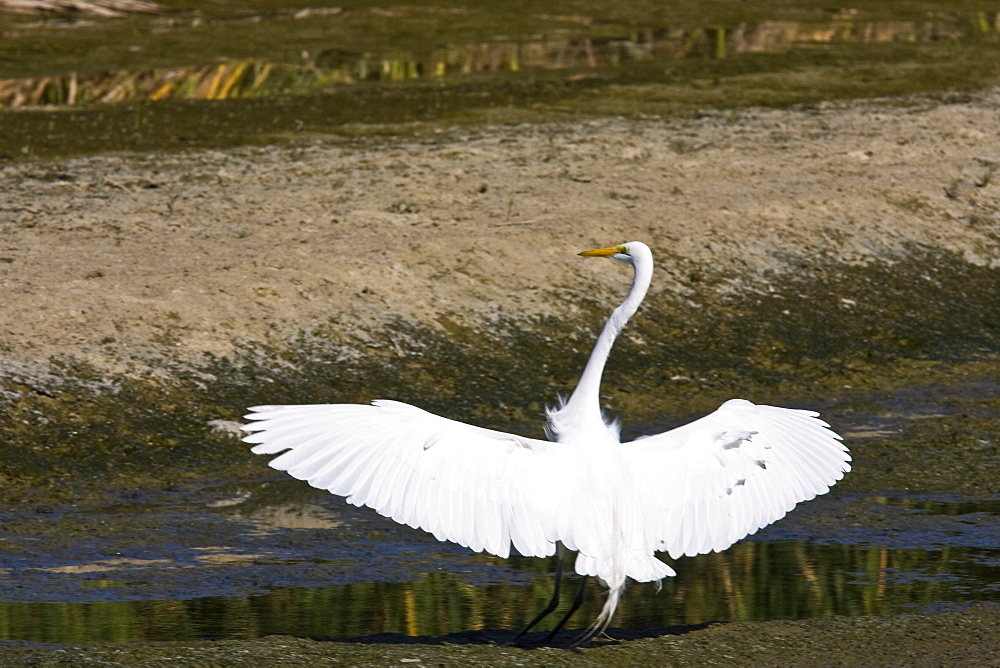 Adult Great Egret (Ardea alba) in courtship display near San Jose del Cabo, Baja California Sur, Mexico.