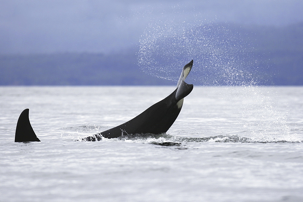 An adult Orca tail-slapping from a pod of 6 Orcas (Orcinus orca) encountered off Sail Island and followed until McDonald Rocks in Frederick Sound, Southeast Alaska