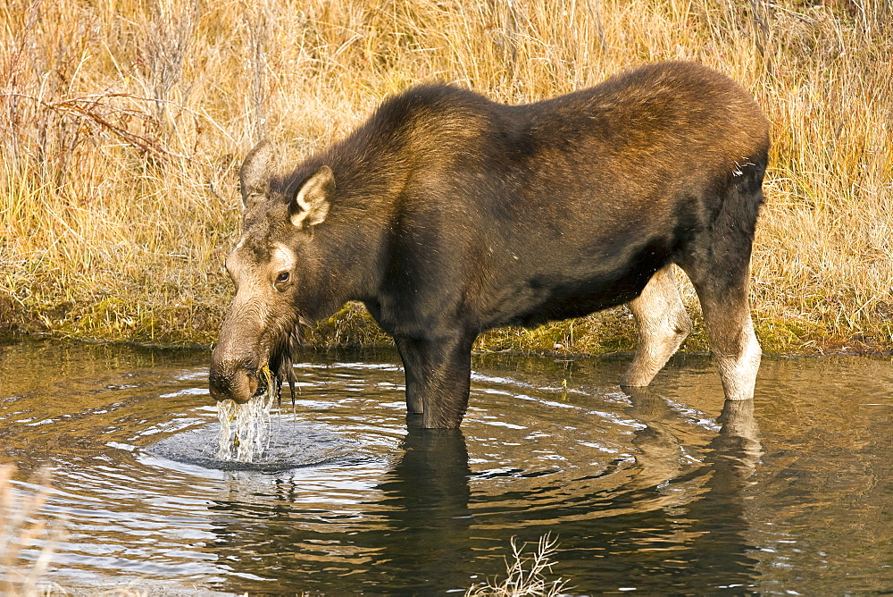 Moose (Alces alces shirasi) near the Gros Ventre river just outside of Grand Teton National Park, Wyoming, USA. The moose is actually the largest member of the deer family.