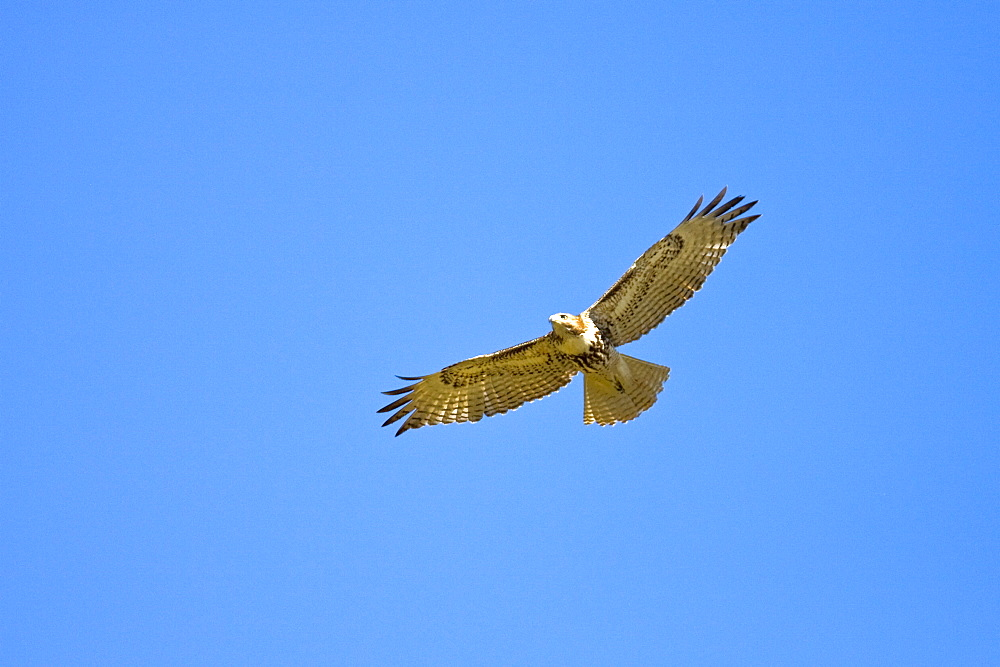 A juvenile red-tailed hawk (Buteo jamaicensis) on the wing near San Jose del Cabo, Baja California Sur, Mexico.