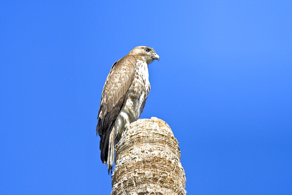 A juvenile red-tailed hawk (Buteo jamaicensis) on a perch near San Jose del Cabo, Baja California Sur, Mexico.