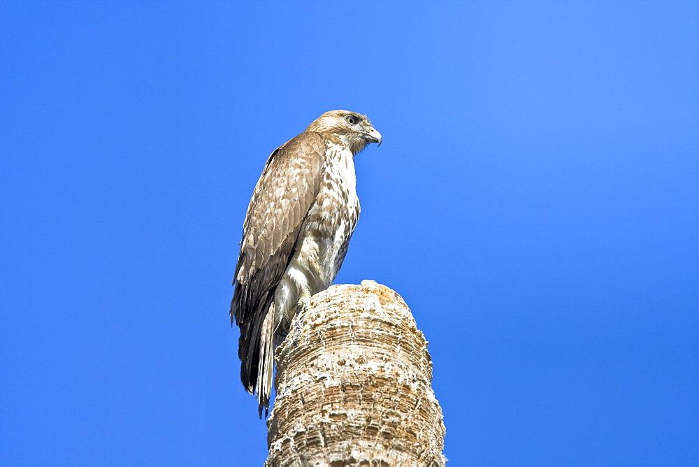A juvenile red-tailed hawk (Buteo jamaicensis) on a perch near San Jose del Cabo, Baja California Sur, Mexico.