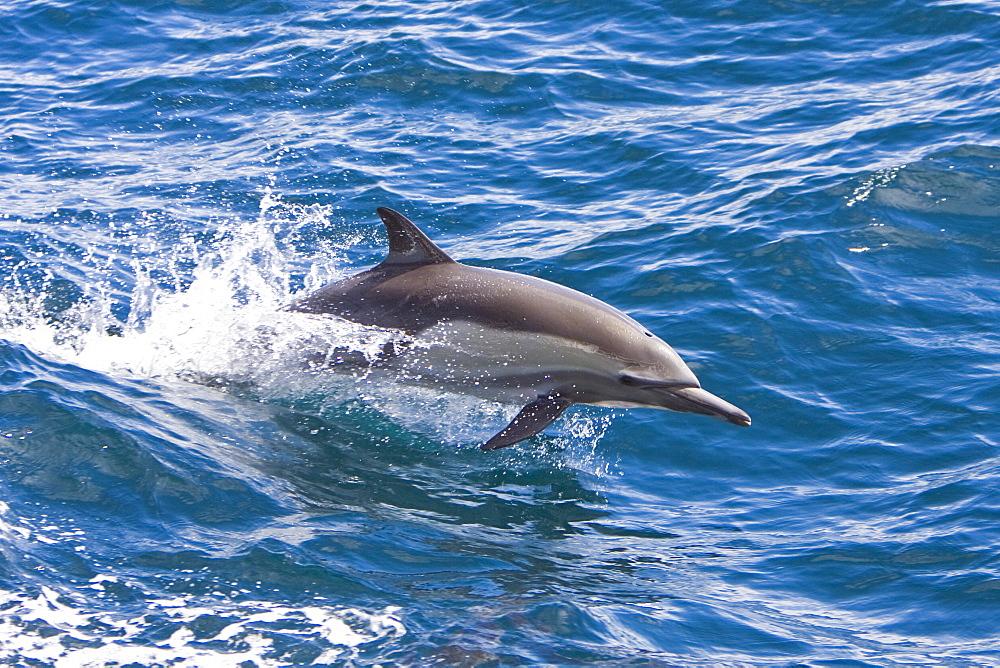 Long-beaked Common Dolphin pod (Delphinus capensis) encountered off Isla Espiritu Santo in the southern Gulf of California (Sea of Cortez), Baja California Sur, Mexico.