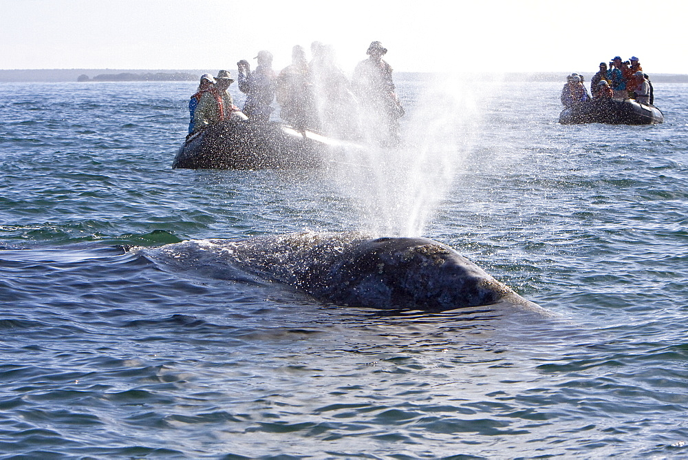 Lindblad guests with an adult California Gray Whale (Eschrichtius robustus) in Magdalena Bay, Baja California Sur, Mexico - 979-2807