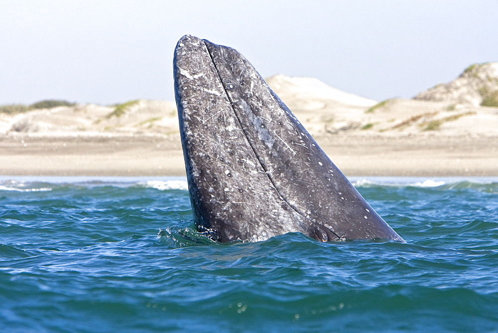 Adult California Gray Whale (Eschrichtius robustus) spy-hopping in Magdalena Bay, Baja California Sur, Mexico