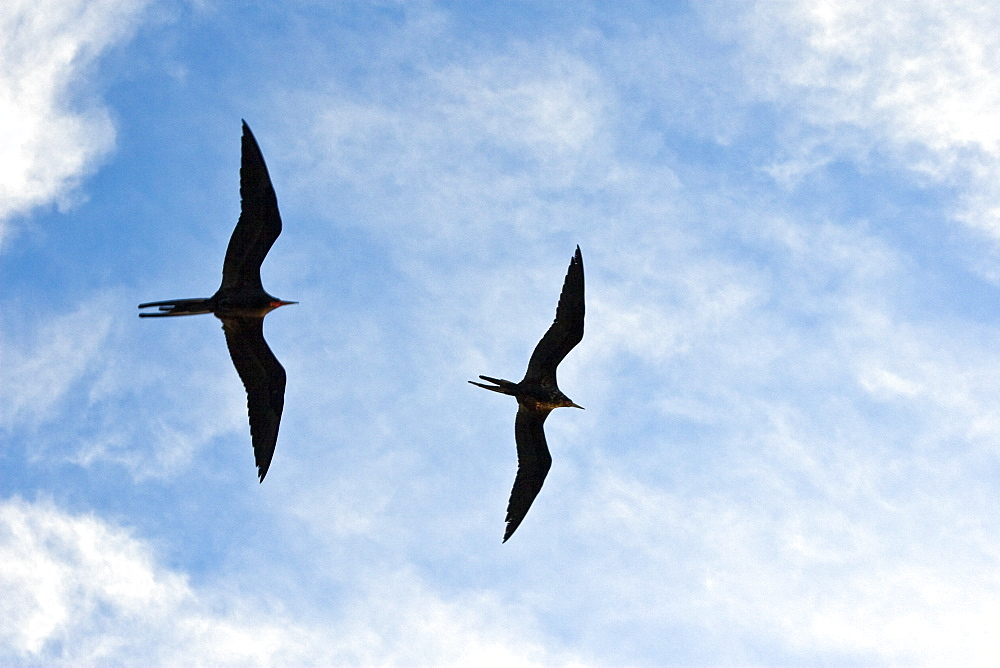 Adult male magnificent frigatebirds (Fregata magnificens) on the wing near breeding colony on Isla Magdalena, Bahia de Magdalena, Baja California Sur, Mexico.