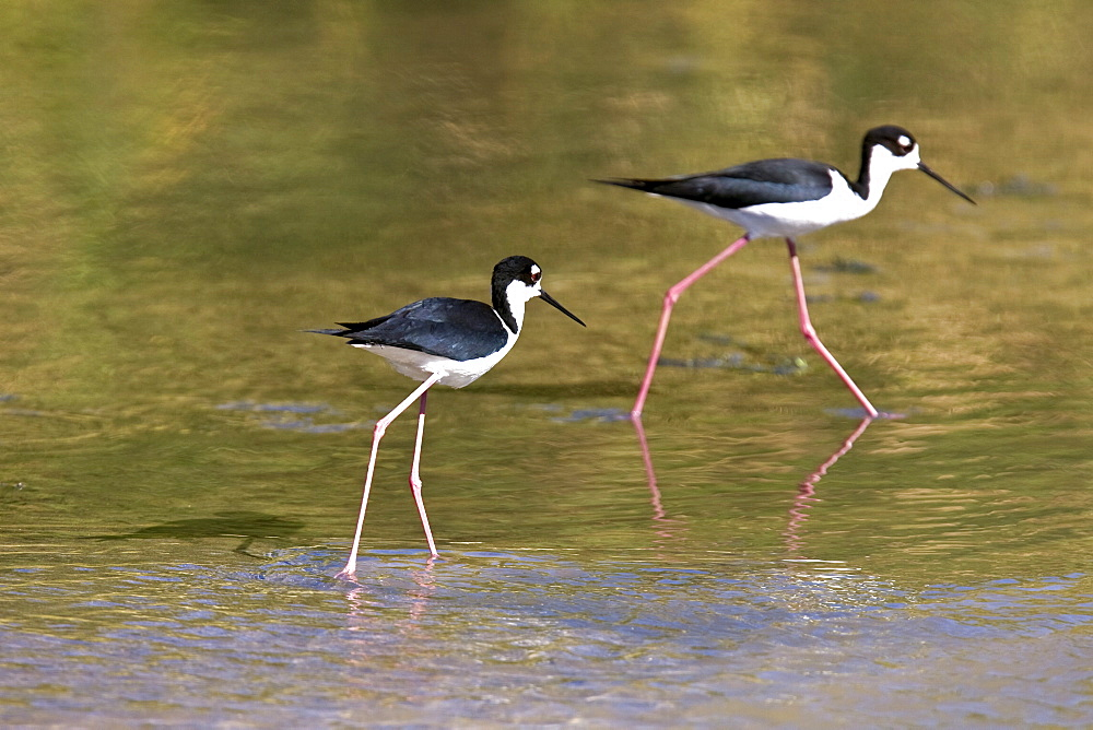 Adult black-necked Stilt (Himantopus mexicanus) wading and feeding just outside San Jode del Cabo, Baja California Sur, Mexico.
