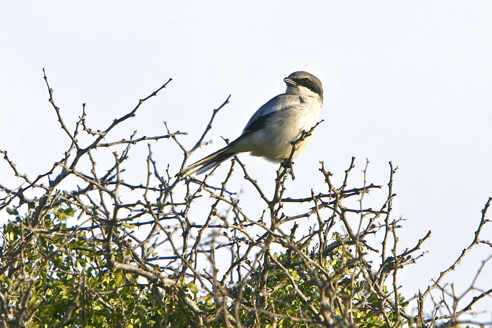 Adult loggerhead shrike (Lanius ludovicianus) perched on Isla Santa Catalina in the Gulf of California (Sea of Cortez), Baja California Sur, Mexico.