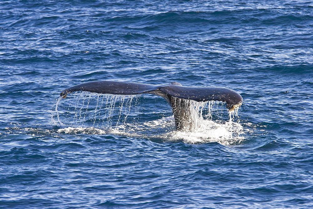 Humpback whale (Megaptera novaeangliae)  fluke-up dive near the Gorda Banks in the Gulf of California (Sea of Cortez), Baja California Sur, Mexico. Each year humpback whales return to these waters in the winter and spring to mate and give birth to their calves. In the summer and fall they swim thousands of miles to their feeding grounds in the Pacific Northwest areas of British Columbia, Canada and Oregon and Washington State, USA.