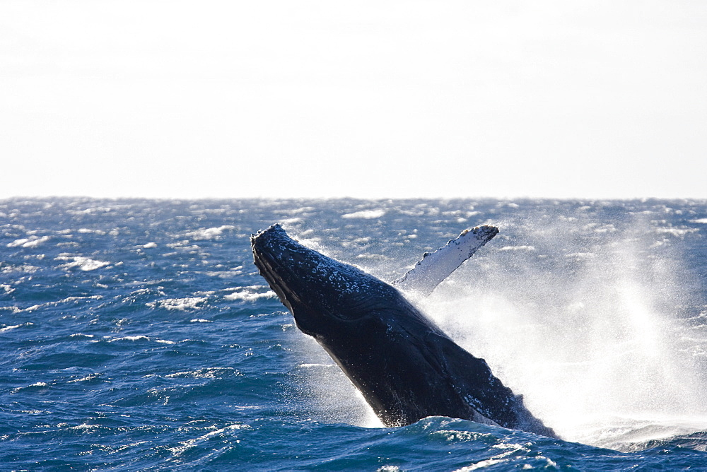 Humpback whale (Megaptera novaeangliae)  breaching near the Gorda Banks in the Gulf of California (Sea of Cortez), Baja California Sur, Mexico. Each year humpback whales return to these waters in the winter and spring to mate and give birth to their calves. In the summer and fall they swim thousands of miles to their feeding grounds in the Pacific Northwest areas of British Columbia, Canada and Oregon and Washington State, USA.