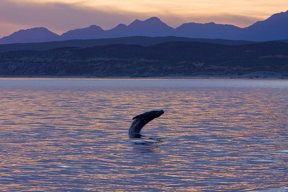 Humpback whale (Megaptera novaeangliae) breaching at sunset near the Gorda Banks in the Gulf of California (Sea of Cortez), Baja California Sur, Mexico. Each year humpback whales return to these waters in the winter and spring to mate and give birth to their calves. In the summer and fall they swim thousands of miles to their feeding grounds in the Pacific Northwest areas of British Columbia, Canada and Oregon and Washington State, USA.