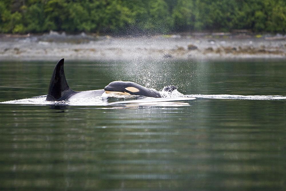 The transient Orca (Orcinus orca) pod, Cape Strait, Southeast Alaska, USA, Pacific Ocean