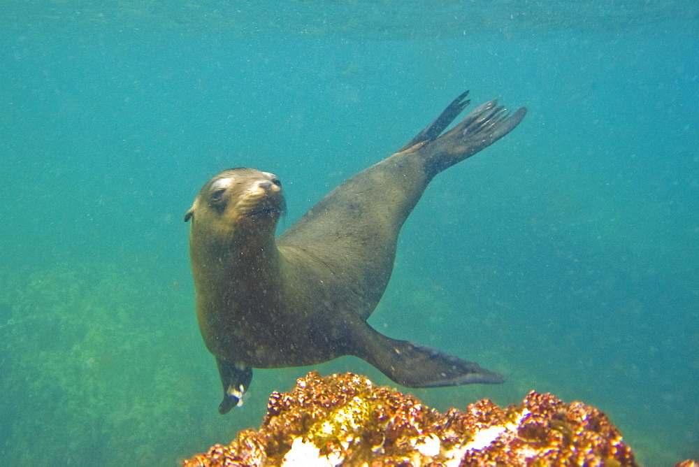 California Sea Lion (Zalophus californianus) underwater at Los Islotes, the southernmost haul out and breeding area in the Gulf of California (Sea of Cortez), Baja California Sur, Mexico. There is a large sexual dimorphism between male and female California sea lions, with adult males attaining weights of 860 pounds while adult females reach 240 pounds.