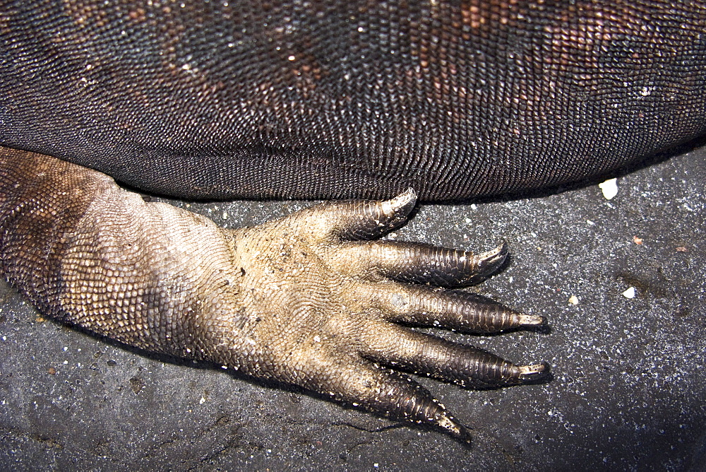 claw detail of the endemic Galapagos marine iguana (Amblyrhynchus cristatus) in the Galapagos Island Archipelago, Ecuador