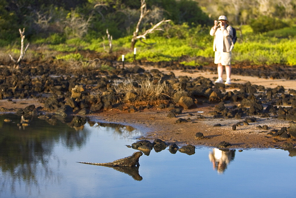 Early morning light reflected on tourist and iguana near a brackish lagoon near Cerro Dragon (Dragon Hill) on Santa Cruz Island. The endemic Galapagos marine iguana (Amblyrhynchus cristatus) in the Galapagos Island Archipeligo, Ecuador. This is the only marine iguana in the world, with many of the main islands having it's own subspecies. Pacific Ocean. This iguana is unique among all iguanas worldwide to feed exclusively underwater on algae.
