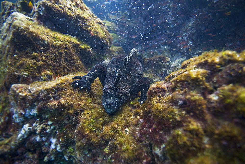 The endemic Galapagos marine iguana (Amblyrhynchus cristatus) foraging for algae underwater in the Galapagos Island Archipeligo, Ecuador
