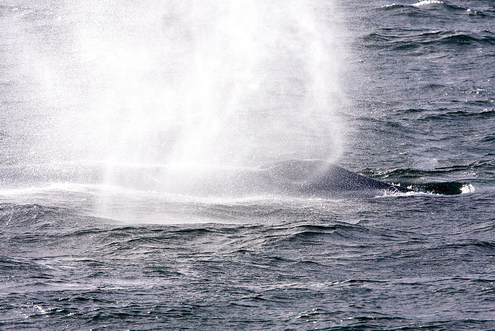 Adult blue whale (Balaenoptera musculus) surfacing in the middle Gulf of California (Sea of Cortez), Baja California Sur, Mexico. The blue whale is the largest animal thought to have ever lived upon planet Earth. Each winter and spring blue whales enter the lower and middle Gulf of California to breed and give birth to their calves.