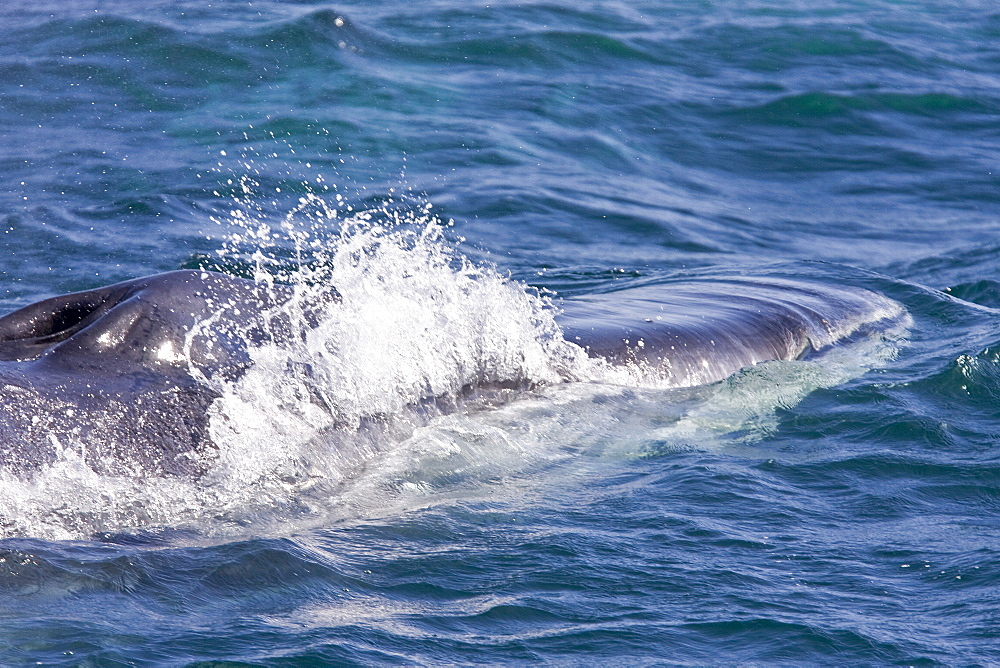 """Adult fin whale (Balaenoptera physalus) surfacing near Isla Carmen in the lower Gulf of California (Sea of Cortez), Mexico. This baleen whale is uniquely asymmetrical in its coloration; the right lower jaw is usually white in color whereas the left lower jaw is black. Also note the grey chevron pattern on the back of this animal, another defining color pattern. The fin whale believed to be the second largest animal to have ever lived on planet Earth. There are thought to be over 400 """"resident"""" fin whales in the Gulf of California, that is they remain in the Gulf for the entire year, rather than migrating to higher lattitudes to feed as most fin whales do."""